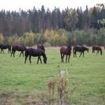 Лошадки с конефермы Кордон Гришкино